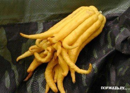 Рука Будды Это популярные в Азии плоды одного из представителей подсемейства цитрусовых (семейство Рутовые). Содержимое этого фрукта под толстой кожицей очень сильно напоминает лимон.
