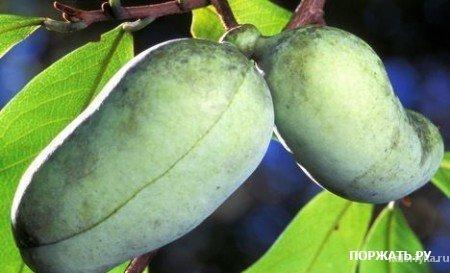 Лапа-лапа Мало кто знает, что существует Североамериканский банан Лапа-лапа (банан прерии). Произрастает этот банан на юго-востоке Америки. Внешне он очень похож на обыкновенный банан только несколько короче и обладает более ароматным запахом.
