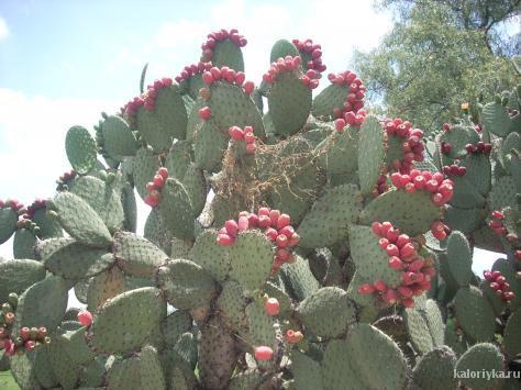 Эти кактусы – часть ландшафта многих засушливых районов Северной и Южной Америки. Проезжая через эти пустыни, вы никогда не подумаете, что на самом деле вокруг вас находится еда.    В Мексике, люди используют его для приготовления пищи еще с незапамятных времен, причем применяют во всем, от приготовления завтрака до десерта.    После удаления шипов, плод становится универсальным ингредиентом, и может быть съеден в сыром, жареном, вареном виде, и даже в дополнении к мороженому. У него тонкий аромат, в нем содержатся несколько витаминов и минералов. Его могут употреблять в пищу даже диабетики.