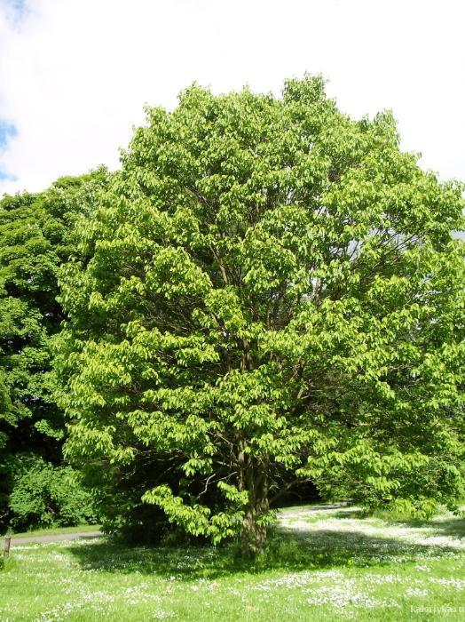"""В лесах Индии растет растение калир-канда, называемое на местном наречии """"обмани желудок"""". Съев 1-2 листочка его, человек чувствует сытость на протяжении целой недели (!), несмотря на то, что в листьях нет никаких питательных веществ. Благодаря свойству создавать иллюзию сытости таблетки и настои из листьев калир-канды рекомендуют людям, желающим избавиться от лишнего веса."""