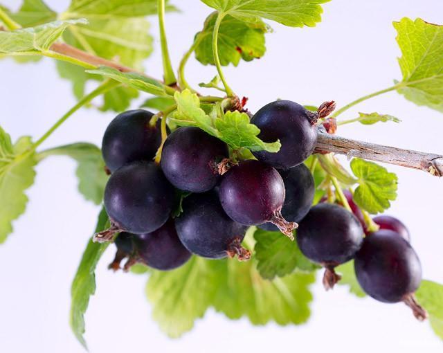 Энергетическая ценность: 40 ккал  Полезные элементы: витамины С, Р, антоцианы, обладающие антиоксидантными свойствами