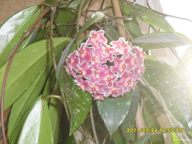 Hoya Silver Pink